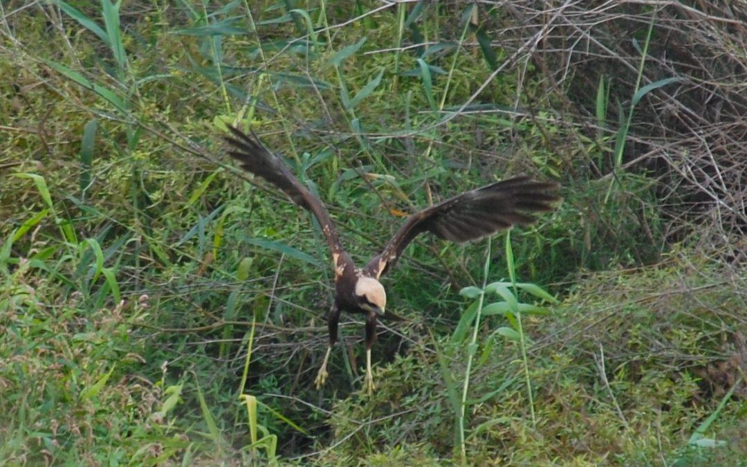 El Consorci riu Millars participa en el cens nacional d'arpellots de marjal