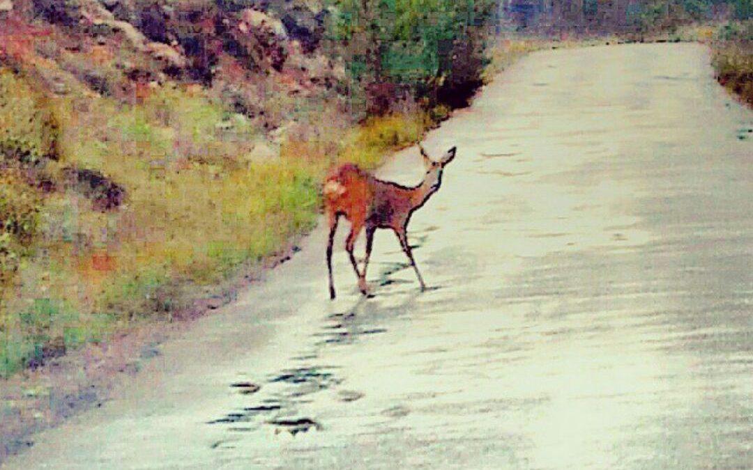 La guarderia del Consorci riu Millars localitza un cabirol a la ruta botànica del Paisatge Protegit