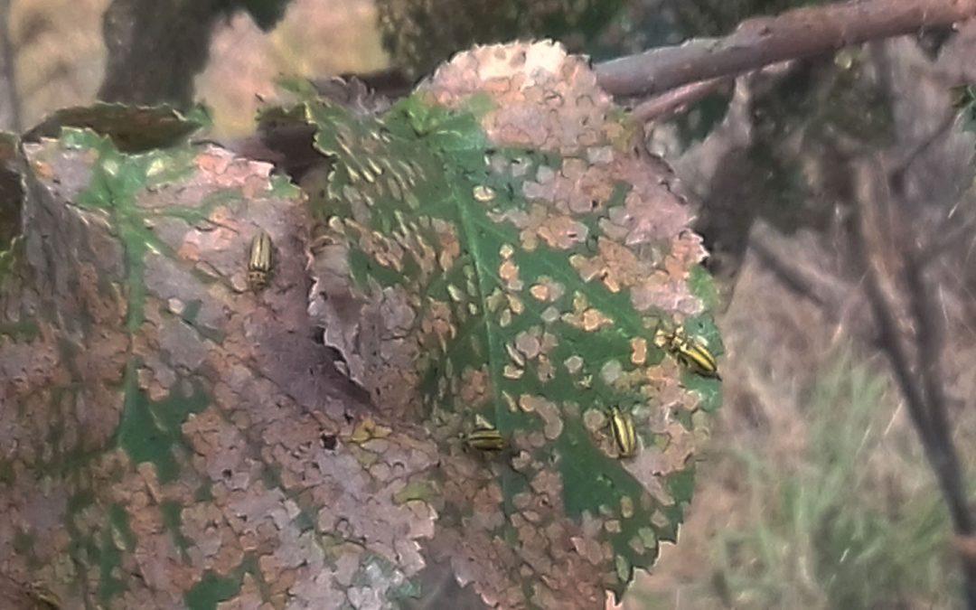 El Consorci riu Millars fa un inventari de tots els oms del Paisatge Protegit afectats per la plaga de la galeruca
