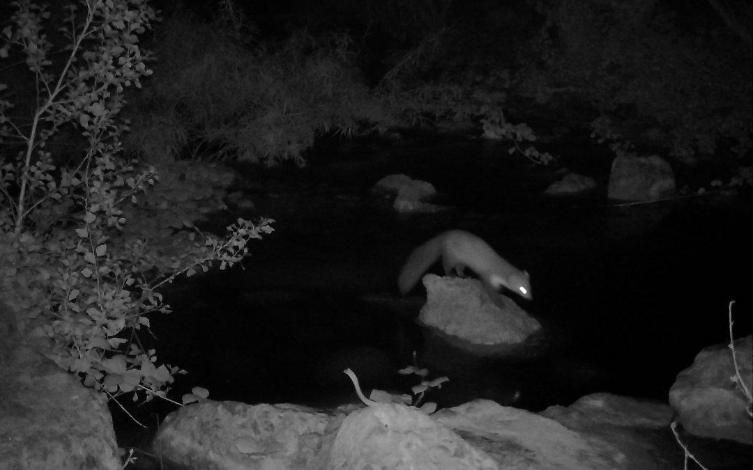 Noves imatges de llúdries demostren la seua presència assidua en el tram alt del Paisatge Protegit del Millars