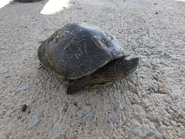 El Consorci del Paisatge Protegit de la Desembocadura del riu Millars marca tortugues de rierol en les llacunes artificials