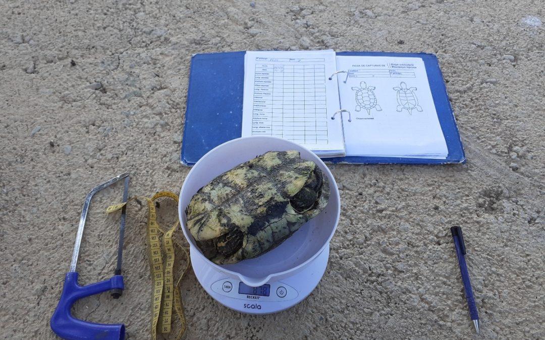 El Consorci del Paisatge Protegit de la Desembocadura del riu Millars finalitza la campanya de seguiment i control de tortugues