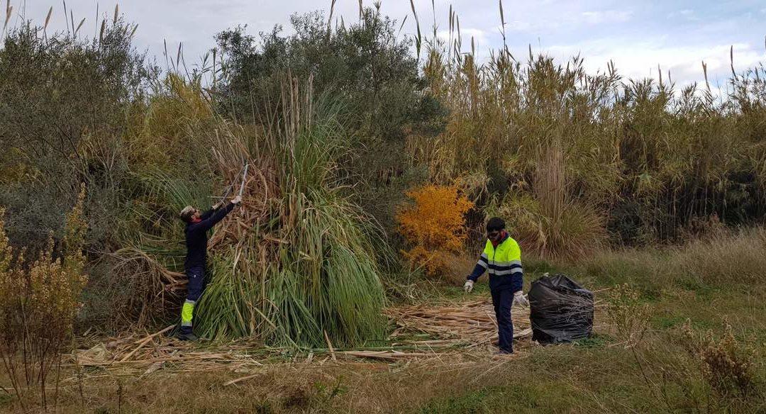El Consorci gestor del Paisatge Protegit de la Desembocadura del riu Millars elimina les cortadèries de l'espai fluvial