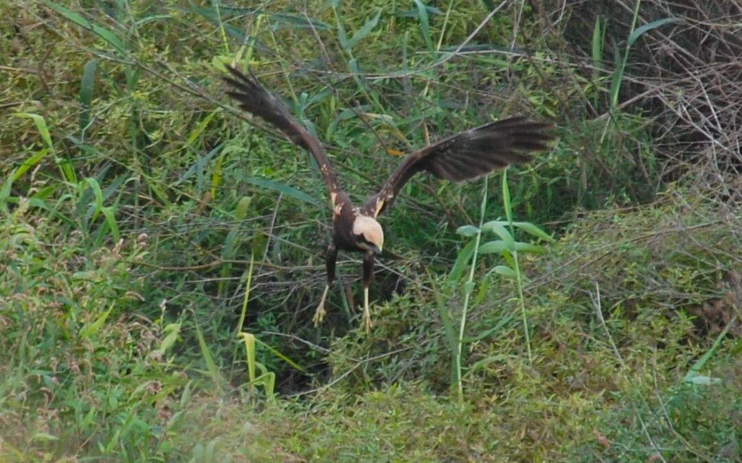 Les rapinyaires són les protagonistes del pas migratori post nupcial al Paisatge Protegit de la Desembocadura del riu Millars