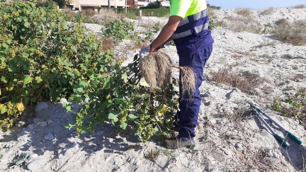 El Consorci gestor del Paisatge Protegit de la Desembocadura del riu Millars elimina les llepasses bordes de la zona nord de la platja de les Goles
