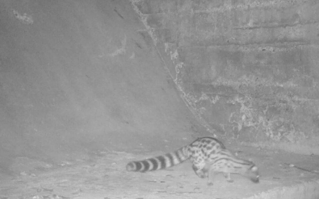 El foto parament continua donant excel·lents resultats d'imatges de fauna salvatge al Paisatge Protegit de la Desembocadura del riu Millars