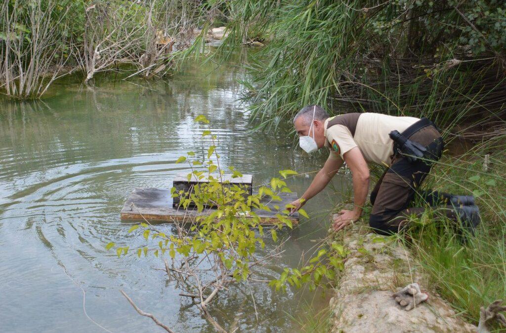 El Consorci gestor del Paisatge Protegit de la Desembocadura del riu Millars suspén la campanya de control de visons americans