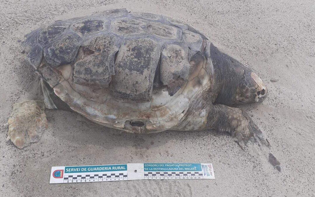 La guarderia rural del Consorci gestor del Paisatge Protegit de la Desembocadura del riu Millars troba dos exemplars morts de tortuga bova al costat de la gola nord