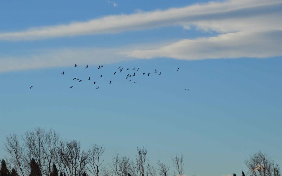 El Paisatge Protegit de la Desembocadura del riu Millars acull a centenars d'aus durant la migració prenupcial